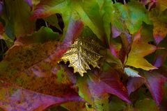 Exceptional golden leaf between autumn leaves Stock Photo