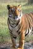 Excepto o projeto do tigre Imagem de Stock Royalty Free