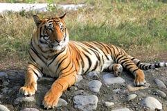Excepto o projeto do tigre Imagem de Stock