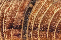 Excised acacia  and tree rings Stock Photos
