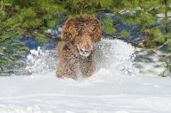Excited собака бежать в снеге зимы Стоковые Фотографии RF