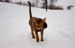 Excited abyssinian cat in winter clothes walking in winter park Stock Image