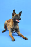 Excited Belgian Shepherd dog waiting for something. Dog is lying on the ground with head held high. Dog is on the blue background stock photography