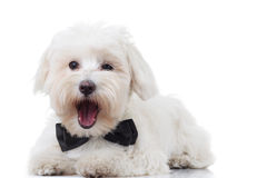 Excited bichon puppy is barking. While lying down on the floor Royalty Free Stock Photos