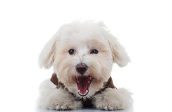 Excited bichon puppy dog barking. On white background Royalty Free Stock Image