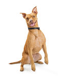Excited Big Dog Jumping Up. Happy and excited large mixed breed dog raising arms to jump up stock photos