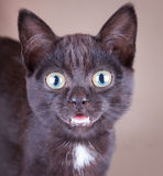 An excited black cat with an open mouth Royalty Free Stock Photo
