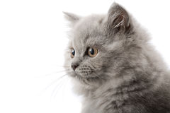 Excited british kitten isolated Stock Image