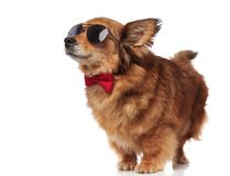 Excited brown dog with sunglasses and red bowtie. Looks up and to side, waiting to be fed, while standing on white background Stock Photos