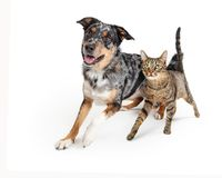 Excited Dog and Cat Walking Forward Together. Excited dog and cat running together towards camera with happy expressions royalty free stock images