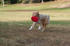 Excited dog with red toy at park. Red Merle Australian Shepard dog smiling while carrying frisbee across grass at park looking ahead stock photo