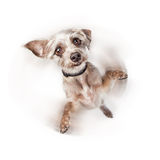 Excited Dog Spinning With Motion Blur. Cute little dog standing on hind legs with paws up. Intentional motion blur to imply he is spinning around stock image