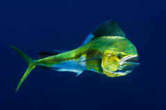 Excited. A female Dolphinfish, or Mahi Mahi, shows her colors in an excited state Stock Photos