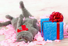 Excited about the gift. A cat lying on the rose petals near a blue gift with a red ribbon with big bow royalty free stock photography