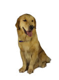 Excited Golden Retriever Royalty Free Stock Image