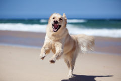 Excited golden retriever running on the beach stock image