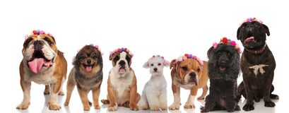 Excited group of dog friends wearing flowers crowns. On a white background Stock Photos