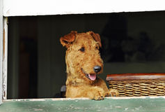Excited happy pet dog standing at house window waiting for owner to come home. An excited and very happy pet dog standing at an open house window that sees her stock image