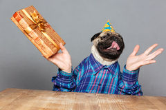 Excited happy pug dog with man hands holding gift. Excited happy pug dog with man hands in checkered shirt and birthday hat with gift over grey background stock photo