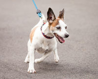 Excited Jack Russell and Chihuahua Cross Dog Going for a Walk. Excited and enthusiastic Jack Russell and Chihuahua cross-breed dog going for a walk on a blue royalty free stock image