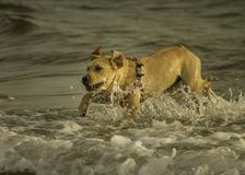 An excited labrador dog pounces happily of the waves in the ocean at Sampieri beach, in Sicily ,Sicily. Excited labrador dog pounces happily of the waves in the royalty free stock image