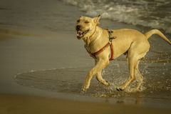 An excited labrador shakes off the sea water at Sampieri beach, in Sicily ,Sicily. Excited labrador dog shakes off the sea water at Sampieri beach, in Sicily, on stock photography