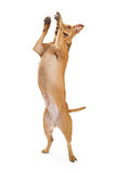 Excited Large Dog Jumping Up. Over-excited large mixed breed dog jumping up and standing on hind legs royalty free stock photos
