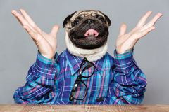 Excited man with pug dog head raised hands. Happy excited man with pug dog head sitting with hands raised over grey background royalty free stock photography