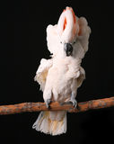 Excited Puffy Moluccan Cockatoo stock photos