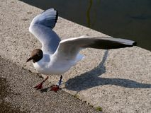 Excited Seagull on a quayside. Seagull on quayside with wings outstretched Stock Images