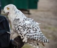 Excited snow owl on the hand of the falconer.  Royalty Free Stock Images