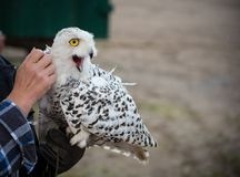 Excited snow owl on the hand of the falconer.  Royalty Free Stock Photo