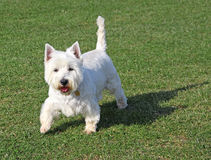 Excited west highland terrier dog. Photo of an excited white west highland terrier dog happy to have her photo taken in whitstable kent. photo taken april 2015 royalty free stock photos