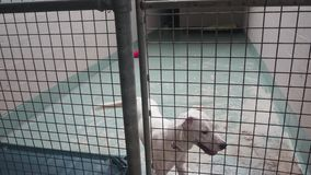 Excited white dog in animal shelter waiting for adoption stock video