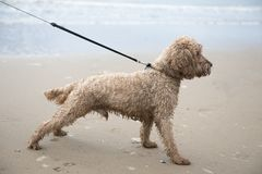 Excited young cockapoo dog on a sandy beach stock photography