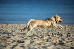 Excited young golden retriever running and jumping on the beach Stock Image
