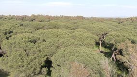 Awe aerial view over stone pine forest with relaxing atmosphere. Exciting aerial view over stone pine forest with fantastic and relaxing atmosphere stock video footage