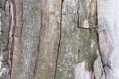 Exclusief natuurlijk die patroon door diepe die barsten in pijnboomhout wordt gevormd met groen korstmos wordt verfraaid openluch royalty-vrije stock foto's