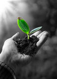Exclusive - agriculture concept , little plant in hand Stock Photography