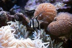 Banggai cardinalfish Pterapogon kauderni is a small tropical cardinalfish. Exclusive marine fish in aquarium. Banggai cardinalfish Pterapogon kauderni is a stock images