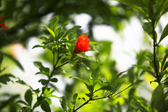 Free Exclusive Megranate Flowers Stock Photography - 5338752
