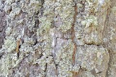 Pine bark damaged by atmospheric phenomena adorned with moss and lichen dry birch earring. Natural background. Outdoor. stock images
