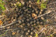 Excremento de alces en el bosque imagen de archivo