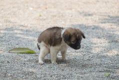 Excremento squatting do cão de cachorrinho Fotografia de Stock