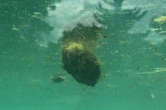 Excrements of hippopotamus (Hippopotamus amphibius) Stock Photography