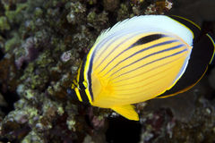 Excuisite butterflyfish (Chaetodon austriacus) Royalty Free Stock Image