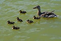 Excursión 2 del pato silvestre Foto de archivo
