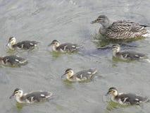 Excursión de la familia del pato Fotografía de archivo