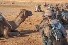 Excursión del camello Fotografía de archivo