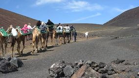Excursions on camels stock video